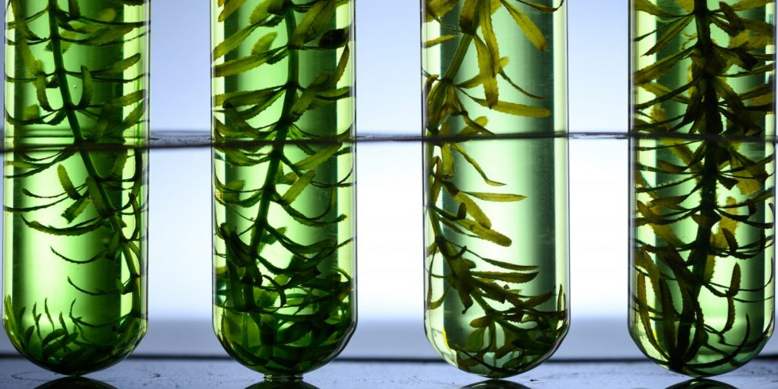 Seaweed biofuel: the benefits and challenges